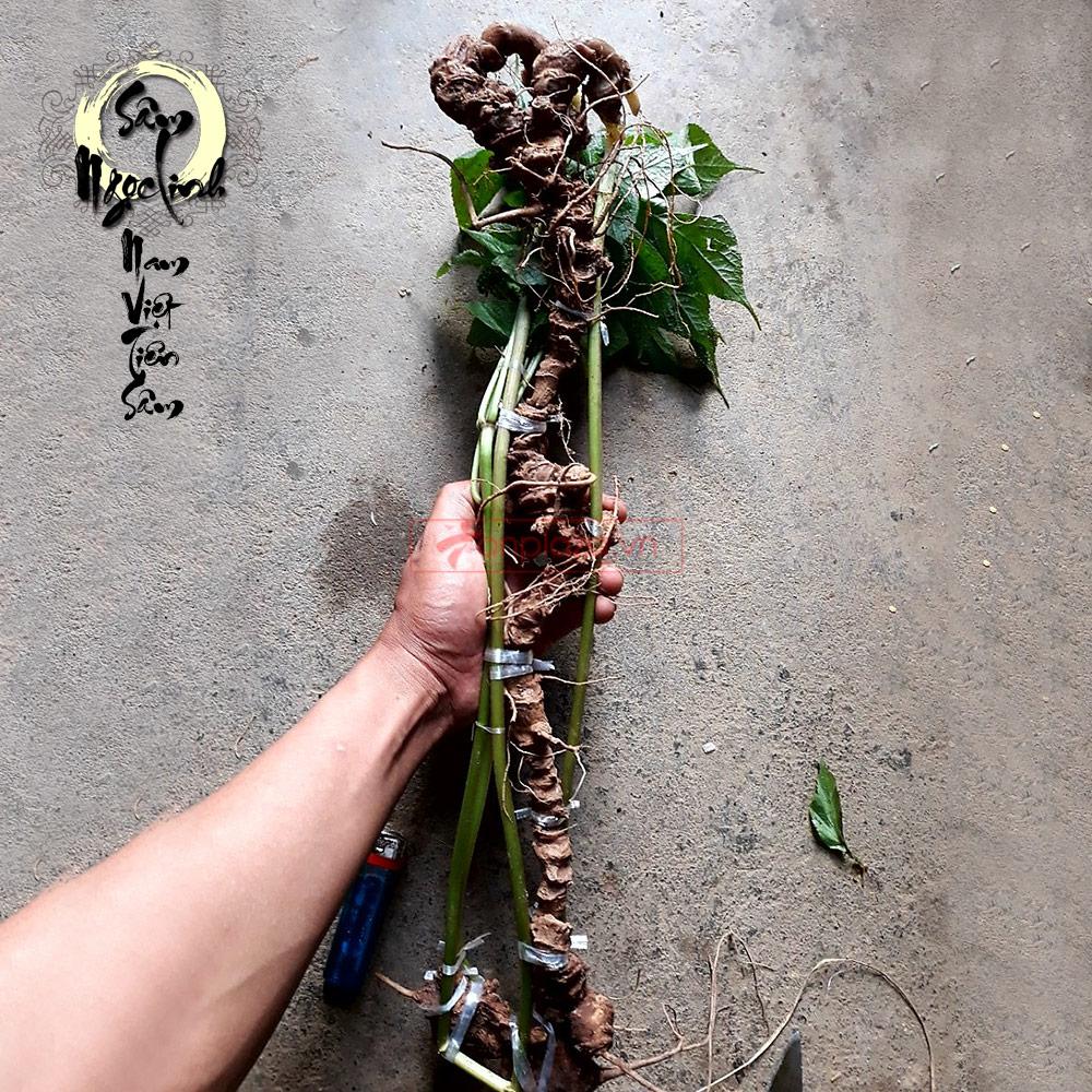 Sâm Ngọc Linh tươi tự nhiên (6.5 lạng/củ)