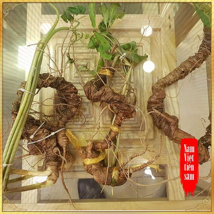 Sâm núi Ngọc Linh loại 5 củ / 1kg