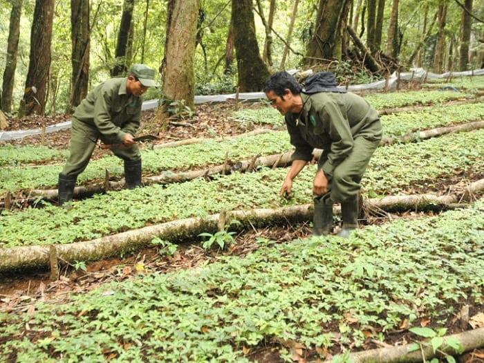 Người dân trồng sâm Ngọc Linh rừng