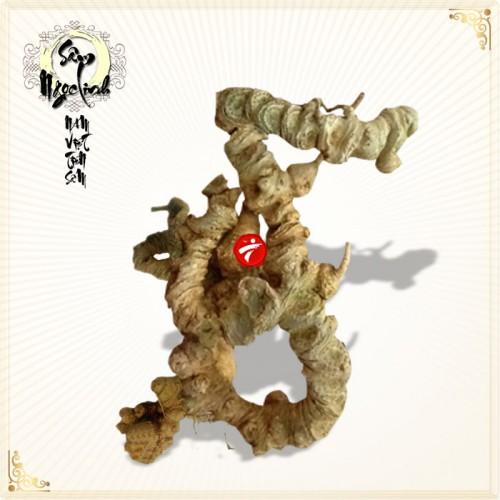 Sâm Ngọc Linh núi 80 năm tuổi 7 – 8 lạng 1 củ NS185
