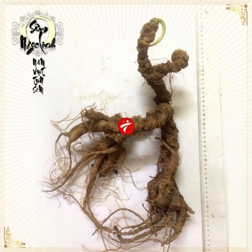 Sâm Ngọc Linh tự nhiên loại 100 năm tuổi 1,8kg-2,5kg/1 củ NS297