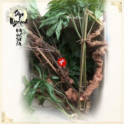 Sâm Ngọc Linh núi 45 năm tuổi loại 3 đến 4 lạng 1 củ NS183